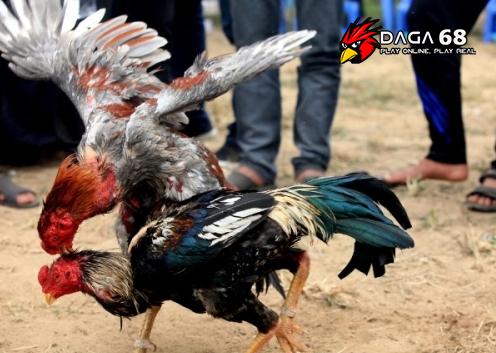 [Chọi gà] – Vua hầu tái xuuất