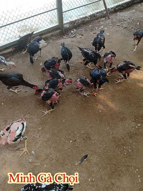 Hướng dẫn trị muỗi trong chuồng gà hiệu quả