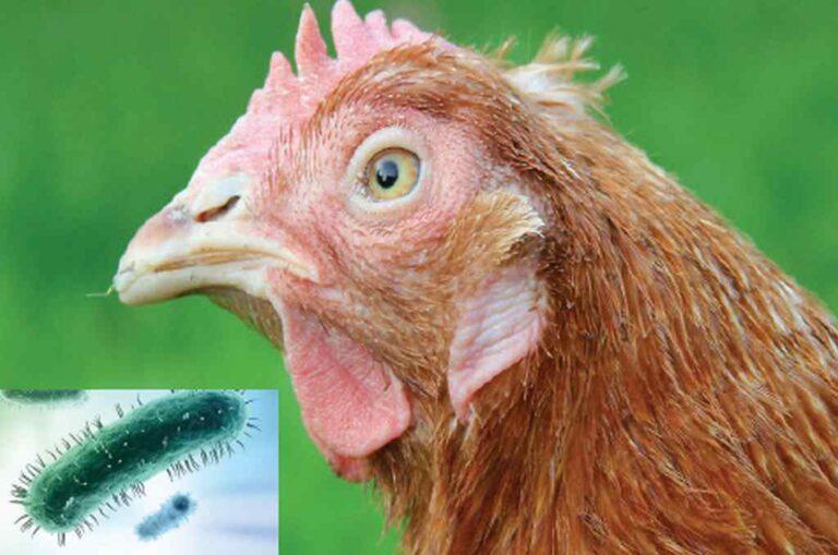 Bệnh Hen Gà – CRD – Cách Điều Trị và Phòng Ngừa Hiệu Quả