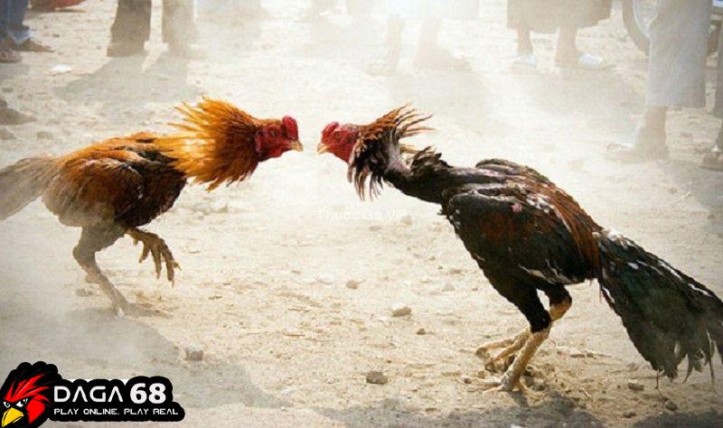 Tại sao nên cho gà uống pharmaton trước khi đá?