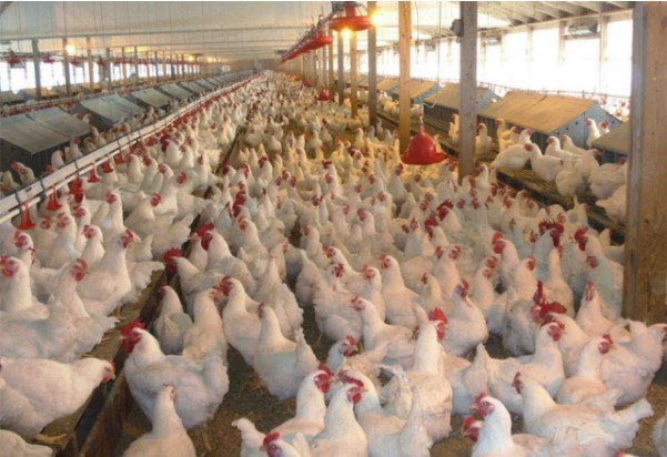 Sự biến đổi của gà phụ thuộc vào ngành công nghiệp chăn nuôi