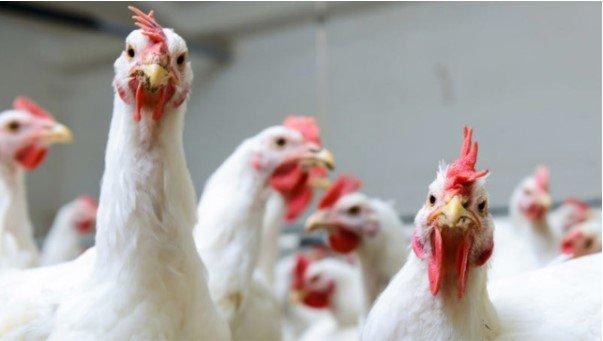 Thịt gà được con người ăn nhiều nhất trong các loài động vật