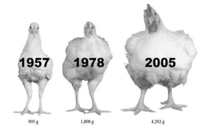 Loài gà biến hóa như thế nào sau hơn 50 năm