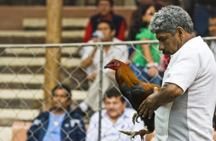 Gà chọi Peru và những phương pháp tập lực hay nhất