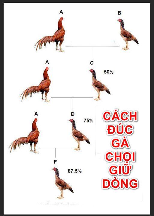 Đúc gà giữ tông – phương pháp đúc gà chọi giữ dòng hiệu quả